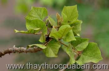 Hình ảnh cây Vông nem