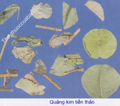 Hình ảnh quảng kim tiền thảo