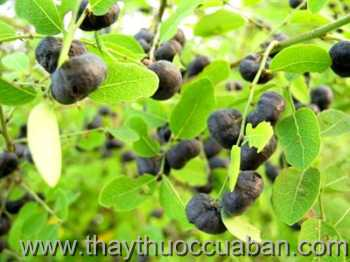 Hình ảnh cây Phen đen