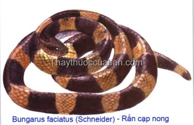 Hình ảnh rắn cạp nong
