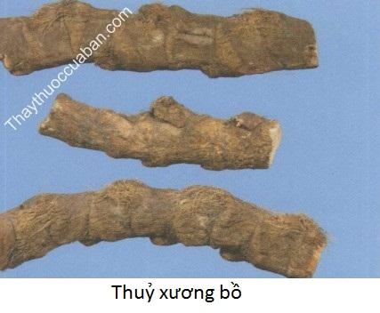 Hình ảnh vị thuốc thủy xương bồ
