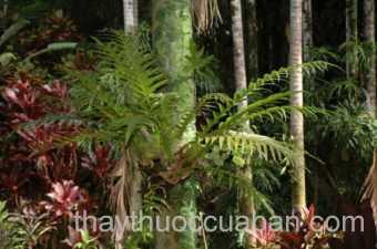 Hình ảnh cây Tổ phượng