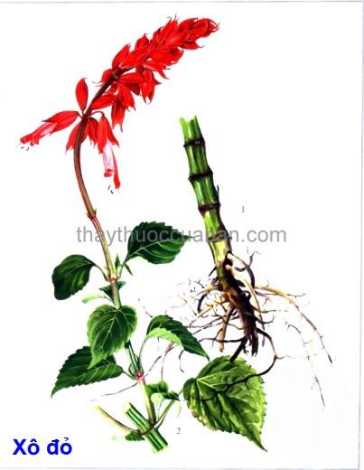 Hình ảnh cây Xô đỏ