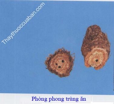 Hình ảnh phòng phong trùng ăn (phòng phong hỏng)